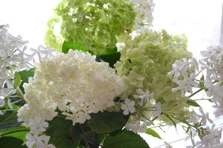 Blooming flowers. Gardening set. Nature flower. White  Phlox and Hydrangea Floral botanical flower.