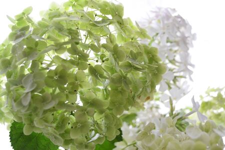 Large lush bouquet of white green flowers garden hydrangea and phlox Stockfoto