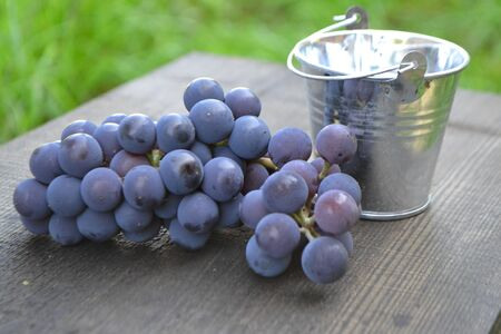 Metal bucket and freshly picked blue grapes, harvest grape, russian style