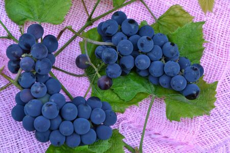 Blue grapes on pink napkin and vintage rustic table. Grape harvest.