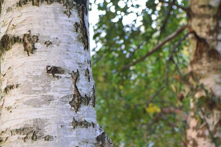 Birch trunk on elegant green bokeh lush foliage background, russian nature in autumn