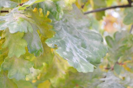 Bur Oak Leaves close up with bokeh effect, autumn foliage natural green background Stockfoto - 132487709