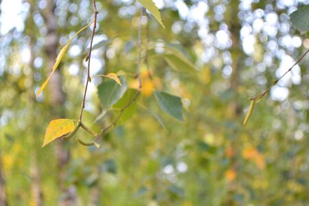birch leaves on a background of yellow and green bokeh closeup 写真素材