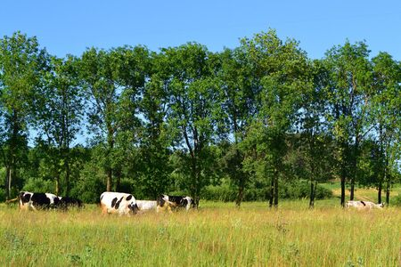 Group of dairy cows grazing on a meadow in sunny day. Natural image Stockfoto
