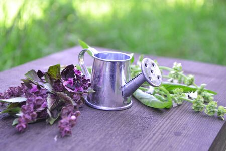 Fresh purple and green basil with a decorative metal watering can. Blurred summer background.