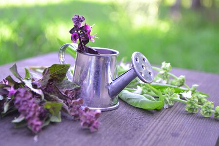 Purple and green fresh basil leaves and flowers, in a small iron watering can in summer garden