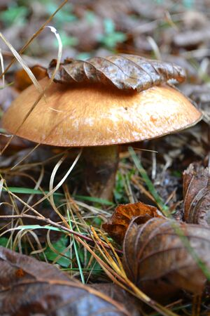 Oiler mushroom in the grass in wild forest of Belarus, close up vertical image