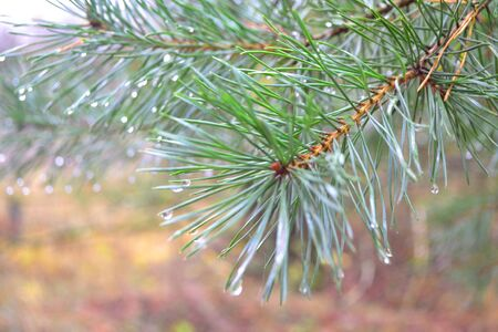 Green branch of pine tree with rain drops, conceptual beautiful pine tree with blurred background.
