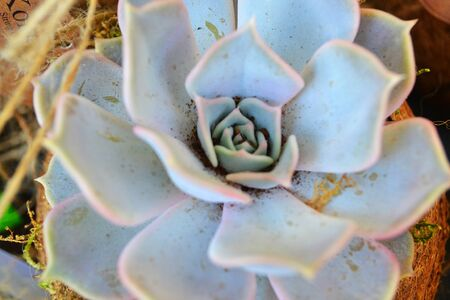 Closeup shot of a grey and blue succulent plant Stockfoto