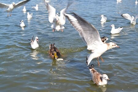 gulls and ducks on the river bank fight for bread Stock fotó