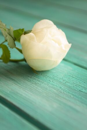 White rose on teal wooden background. Selective focus, copy space