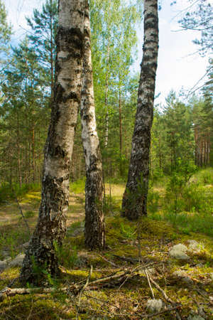 a mixed forest at summer sunny day, birch and pin, in Belarus Archivio Fotografico