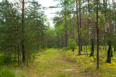 Natural deep forest road in summer day, landscape in Belarus Archivio Fotografico