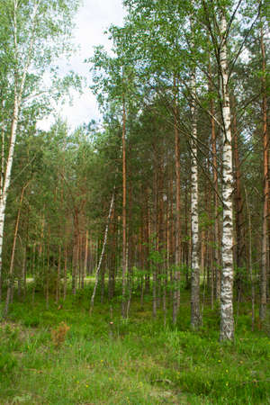 Birch and spruce mushroom forest in summer day. Green trees in the summer forest. Travel on nature. Landscapes in Belarus. Vertical image Archivio Fotografico