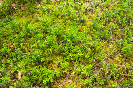 Beautiful background with green lingonberry leaves. Cranberry forest in Belarus in summer day Archivio Fotografico