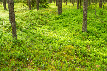 Closeup of lingonberry shrub Vaccinium vitis idaea on the forest floor in deep wood in Belarus
