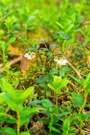 pale flowers close up on lingonberry leaves background, summer forest day in Belarus
