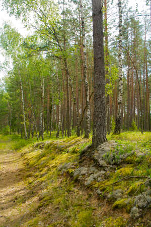 Summer green mushroom forest landscape in the morning in Belarus. Natural woodland, mixt forest with pine and birch trees