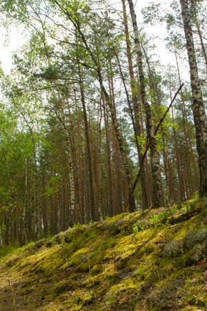 Summer green forest landscape in the morning. Natural woodland. Green nature in Belarus. Birch trees and pines in forest Archivio Fotografico