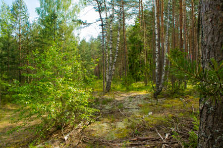 Beautiful summer forest with different trees, mixt forest in Belarus, mushroom forest