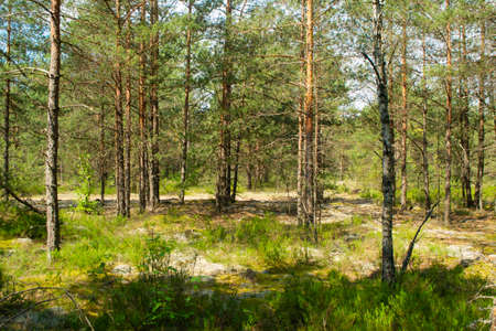 Majestic green pine tree forest, deep natural forest in Belarus Archivio Fotografico