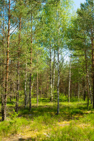 The primeval forest with mossed ground, Belarus Archivio Fotografico