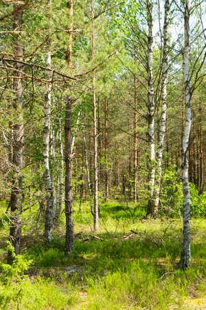 deep wild forest in Belarus, mixt trees