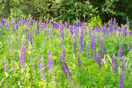 Forest clearing overgrown with blue lupines or Lupinus Archivio Fotografico
