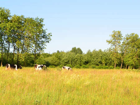 Cows crossing in rural meadow countryside, old village in Belarus. Summer or autumn day Archivio Fotografico