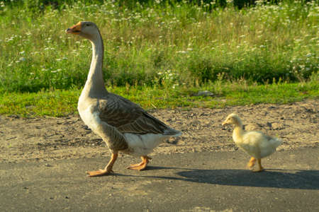 mother goose with little gosling outdoors on a green background. Summer Archivio Fotografico