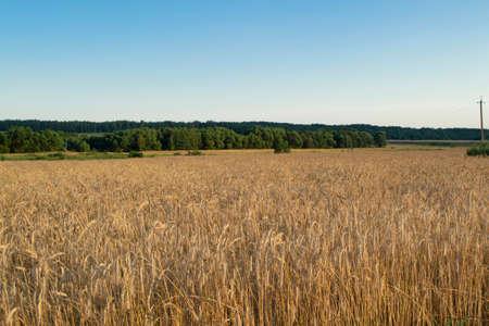 Wheat grain field on sunny day. Cereal organic farming in Belarus