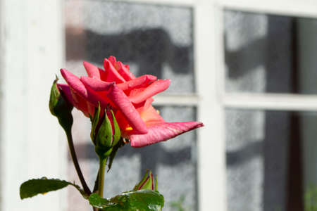 single tender pink rose under a old wooden window, conceptual image