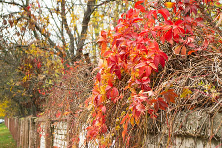 The red leaves of maiden grapes in the city landscape. Climbing plant on a fence mesh.