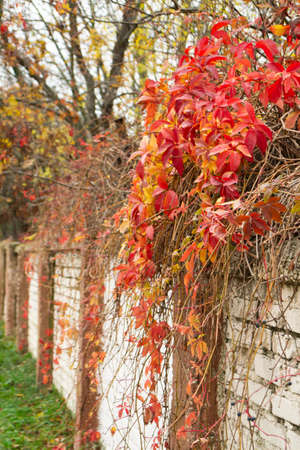 Dark red leaves of bush drapes over a fence in autumn, Minsk, Belarus