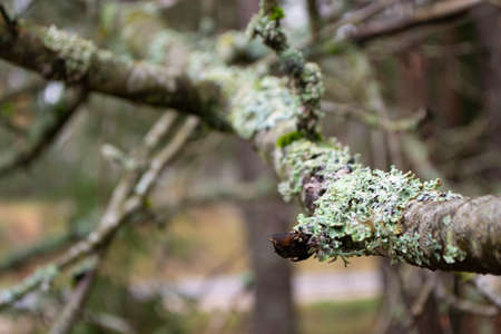 Tree branch with blue lichen in spring forest, blured background