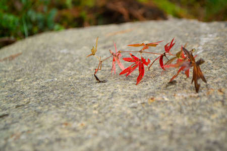 Red thin leaves on a natural stone background. Banner with space for text. Beautiful natural background.