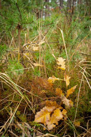 Wet fallen dry oak leaves with green background in autumn forest. Vertical image Stockfoto