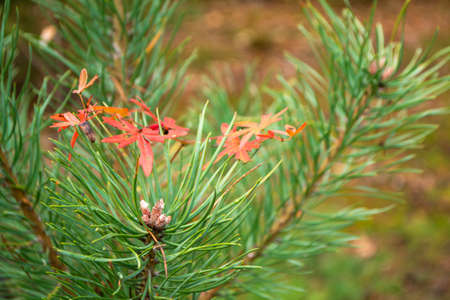 Autumn background of pine sapling leaves. Seasonal concept. Red thin leaves on pine branch in autumn.