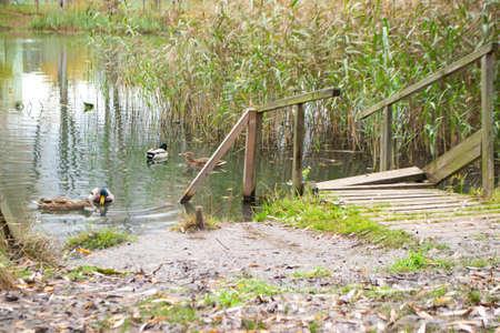 A flock of ducks swims in a pond on a organic farm