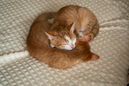 Two red kittens slipping under white blanket Stockfoto