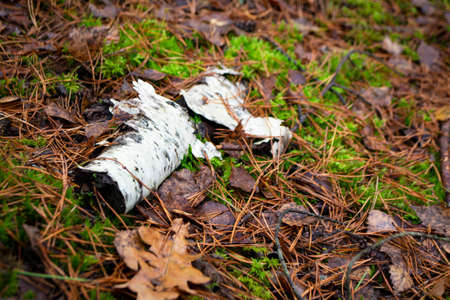 A birch log is untouched on the path. Floor of wild forest in autumn Stockfoto
