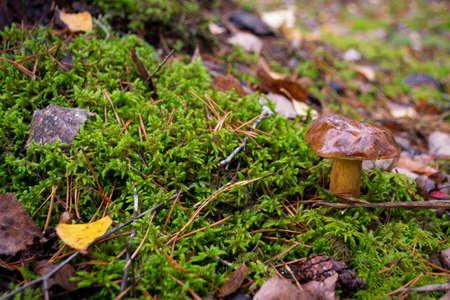 Little edible mushroom xerocomus badius in the wild forest on the moss
