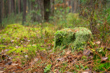 Old stump overgrown with moss in the autumn wild forest