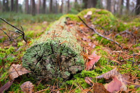 Moss on a dead log tree in wild forest. Moss ecosystem in natural habitat in forest. Close up Stockfoto