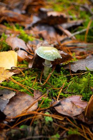 Stropharia aeruginosa. wild mushrooms in the organic forest, vertical image