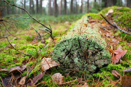 Wild forest fallen tree in the forest. The log is covered with blue green moss close up Stockfoto