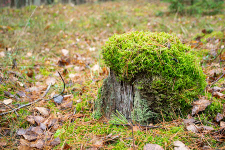 old rotten tree stump covered with green moss hat, close up