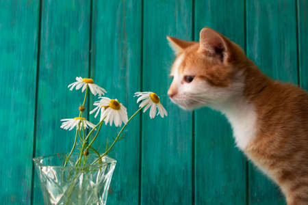 Cute red kitten sniffing white wild daisy or camomile flowers, teal background Stockfoto