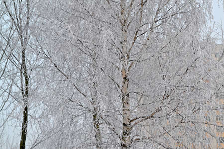 frosty winter morning for trees plastered with rime, russian winter with birch branch Stockfoto
