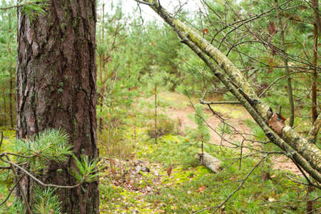 Pine tree wild forest in cloudy weather. Trail in pine tree forest